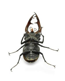 Free Stag Beetle Stock Photo - 15373280