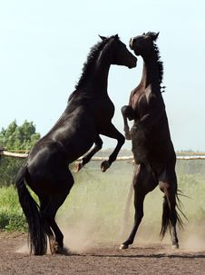 Two Stallions Stock Photos