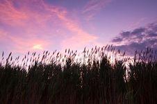Free Reeds Stock Photo - 15373760