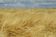 Free Field Of Rye Stock Photo - 15374220