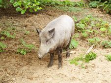 Free Boar Royalty Free Stock Photography - 15374267