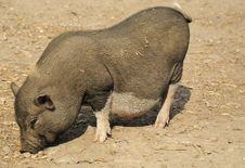 Free Young Wild Pig Royalty Free Stock Photos - 15374358