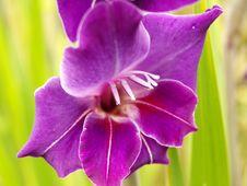 Free Purple Gladiolus Royalty Free Stock Image - 15374606