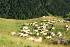 Sheep In High Mountains Near Pine Forest Stock Images