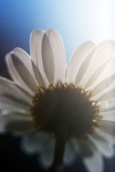 Free Daisy Under The Sun Royalty Free Stock Photo - 15374835