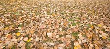 Free Carpet Of Winter Leaves Stock Image - 15374951