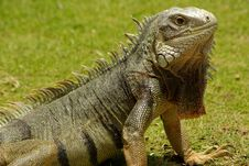 Free Aruban Iguana Stock Photography - 15375832