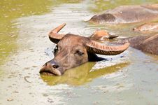 Free Water Buffalo In River. Royalty Free Stock Photography - 15376997