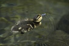 Free Baby Duck In The Water Stock Image - 15378901