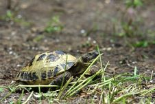 Free Grassland Tortoise Royalty Free Stock Images - 15378929