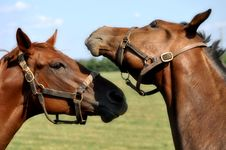 Two Horse Heads Royalty Free Stock Photography