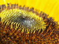 Free Sunflower Dew Stock Photos - 15387423