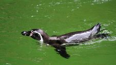 Free Humboldt Penguin In Water Royalty Free Stock Photo - 15380065