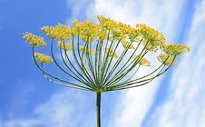 Free Dill Royalty Free Stock Photography - 15380717