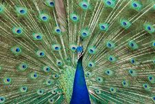 Free Peacock Royalty Free Stock Image - 15380896