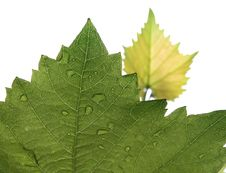 Free Smeared Grape Leaves Stock Photography - 15381112