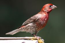 Free House Finch Royalty Free Stock Photo - 15384405