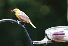 Free Baltimore Oriole Royalty Free Stock Photography - 15384417