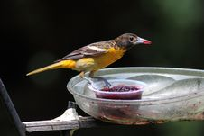 Free Baltimore Oriole Stock Photography - 15384422
