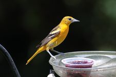 Free Baltimore Oriole Female Stock Images - 15384424