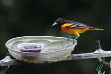 Free Baltimore Oriole Royalty Free Stock Images - 15384449