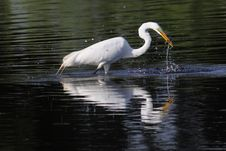 Free Great White Egret Royalty Free Stock Photo - 15384465