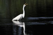 Free Great White Egret Stock Photo - 15384470
