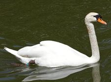 Free Swan Royalty Free Stock Images - 15384889
