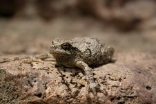 Free Frog Royalty Free Stock Photography - 15385597