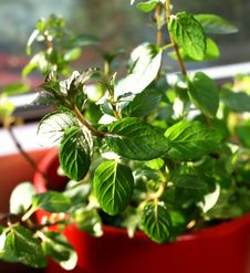 Free Mint Leaves Stock Photos - 15385943