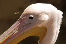 Free Pelican Portrait Royalty Free Stock Images - 15386979
