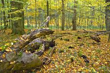 Free Lying Tree In A Hornbeam Forest Royalty Free Stock Image - 15387806