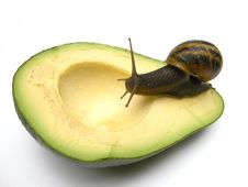 Free Snail On Avocado Royalty Free Stock Images - 15388509