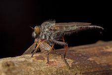Free Robberfly Having Prey Stock Photography - 15388802