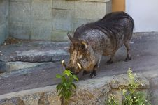Free Wart Hog In Zoo Royalty Free Stock Photo - 15389025
