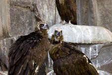 Black Vulture Couple - Rock Background Royalty Free Stock Photos