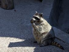 Raccoon In Zoo Eat Cookie Royalty Free Stock Images