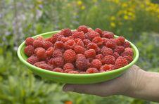 Free Picking Ripe Raspberries Stock Image - 15389601