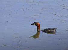 Free Little Grebe After Immersion Stock Images - 15389754