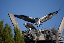 Ospreys In Nest Stock Photo
