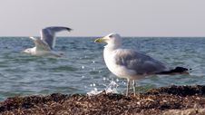 Free Seagull Royalty Free Stock Images - 15390469