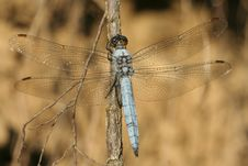 Free Blue Dragonfly Royalty Free Stock Image - 15390636