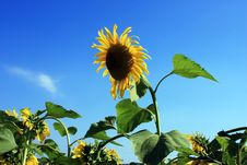 Free Sunflower Rising From The Field Royalty Free Stock Images - 15392469