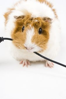 Free Guinea Pig Royalty Free Stock Photos - 15397208