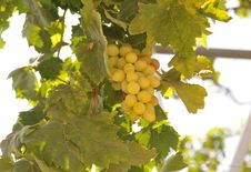 Free Grape Crop Royalty Free Stock Photography - 15398967