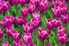 Free Fields Of Tulips Royalty Free Stock Photos - 15399418