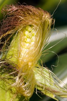 Young Corn On The Cob Stock Photo