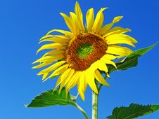 Free Sunflower Royalty Free Stock Photography - 15399697