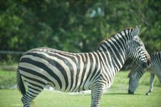 Free Zebras Royalty Free Stock Images - 15399949