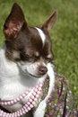 Free Chihuahua Stock Image - 1543301